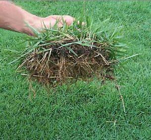 how to grow zoysia grass seed